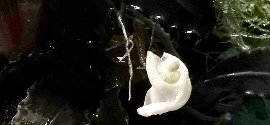 """Bucephalandra sp. """"unbekannt"""" Entwicklung"""