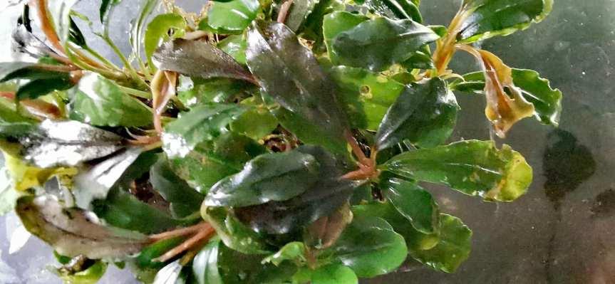 """Bucephalandra sp. """"Firebird"""""""