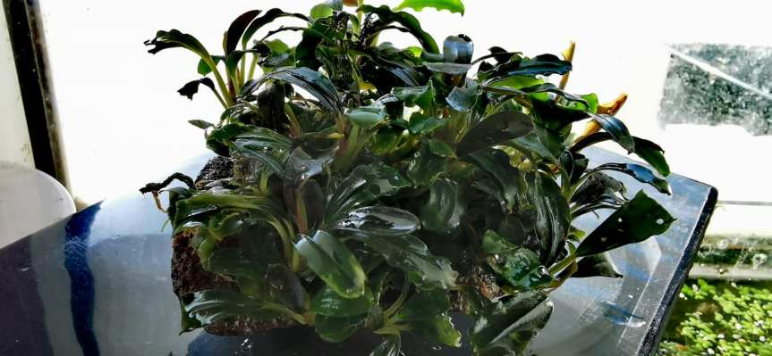 "Bucephalandra sp. ""Brownie Mix""Clumb"