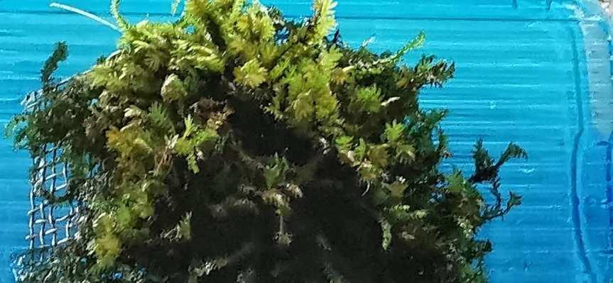 Fissidens nobilis (Spaltzahnmoos)
