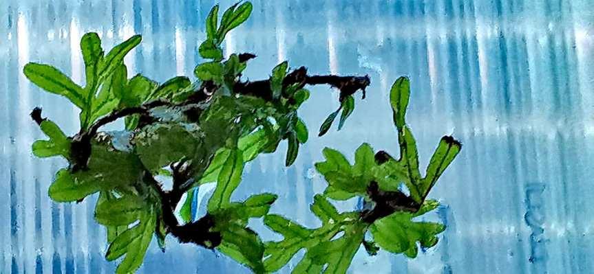 "Crepidomanes sp. ""Calicut"" – Hymenophyllaceae sp.Wayanad"