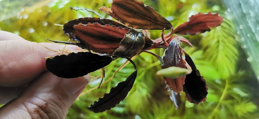 "Bucephalandra sp. ""no name"" mitKnospe"