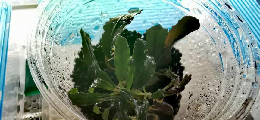 "Bucephalandra sp. ""Biblis sky blue""Rhizom"