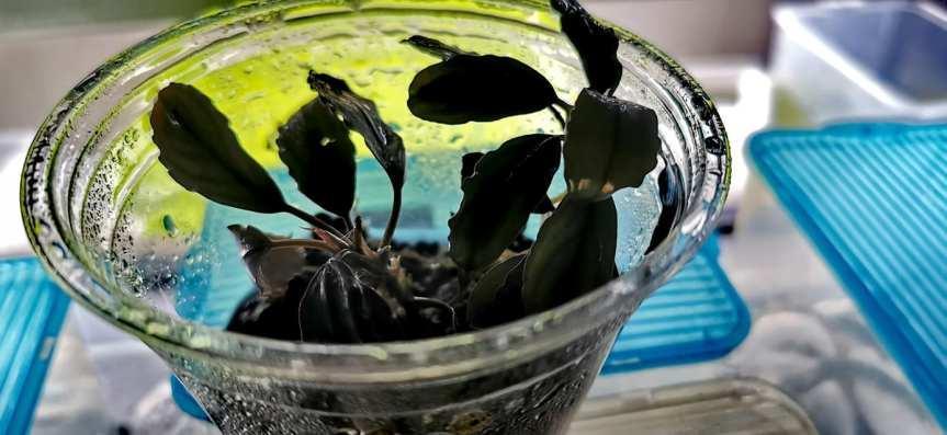 """Bucephalandra sp. """"Rainbow marble""""Rhizom"""