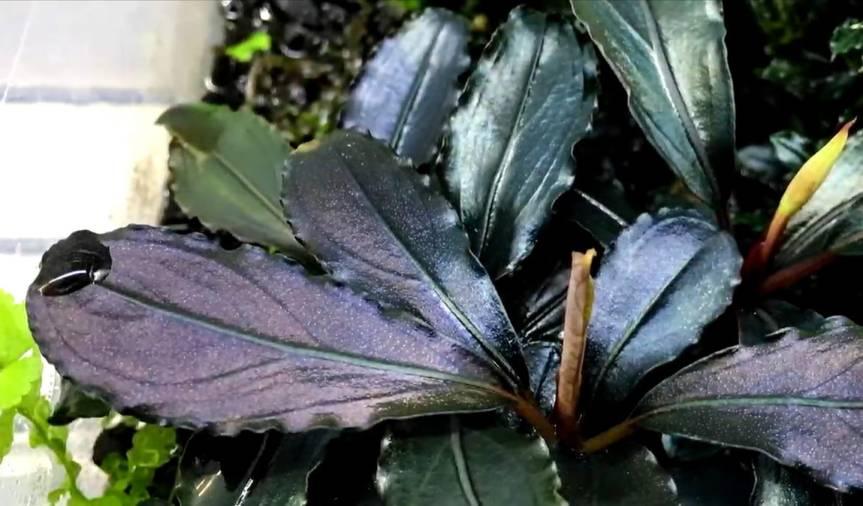 """Bucephalandra sp. """"unbekannt"""""""