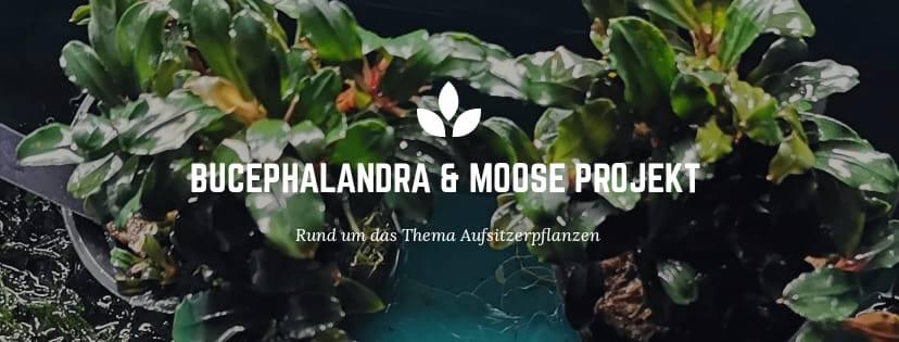 Eigene Bucephalandra & Moos FBGruppe