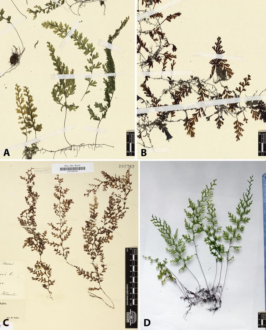 Hymenophyllaceae aus SüdIndien