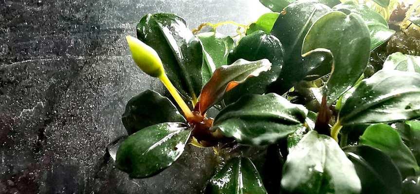 "Bucephalandra sp. ""apple leaf""Knospe"