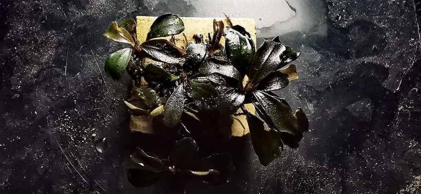"Bucephalandra sp ""BlackPhantom"""