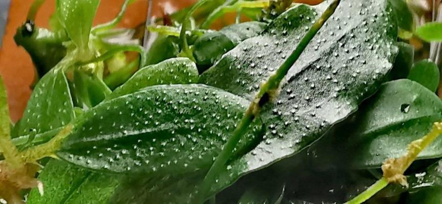 "Bucephalandra sp. ""Brownieblue"""