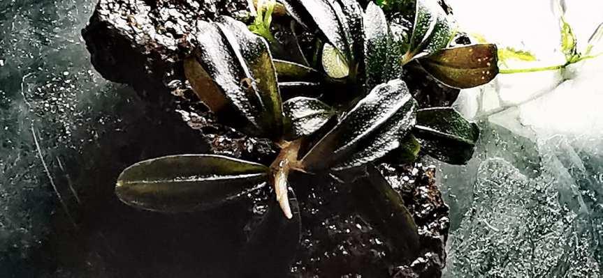 "Bucephalandra sp ""Lalinablue"""