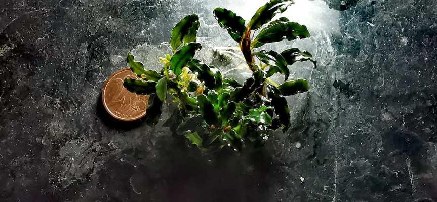 "Bucephalandra sp. ""no name"" mini clumbemers"